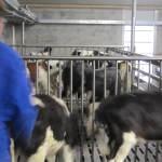 Uitbreiding kalveren bij Familie Herder Wijnjewoude