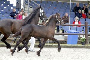 Paarden: Kampioensveulen Myrthe fan 'e Herdershoeve (Stendert x Wikke)